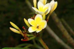 捉蟹与杀害的蜘蛛在champa花, Aarey牛奶殖民地,印度 库存照片