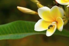捉蟹与杀害的蜘蛛在champa花, Aarey牛奶殖民地,印度 免版税图库摄影