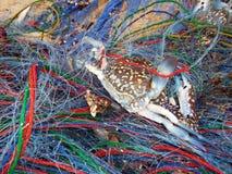 捉蟹在捕鱼网的t 图库摄影