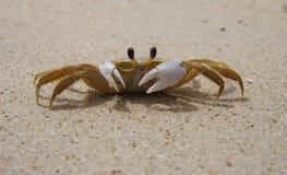 捉蟹沙子 库存图片