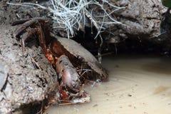 捉蟹爬行入水 库存图片