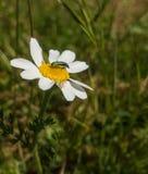 捉蟹蜘蛛和甲虫在白色和黄色花 免版税库存图片