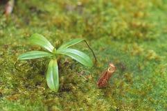 捕虫草,京那巴鲁国家公园,沙巴,马来西亚 免版税库存图片