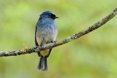 捕蝇器靛蓝 库存照片