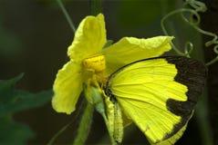 捕食在草黄色蝴蝶的螃蟹蜘蛛 免版税库存图片