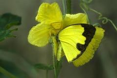 捕食在草黄色蝴蝶的螃蟹蜘蛛 库存照片