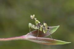 捕食的螳螂在泰国 免版税库存图片