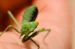 捕食的螳螂面孔 库存图片
