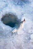 捕鱼冬天 免版税库存照片