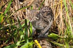 捕鱼在长的草的猫狩猎 免版税库存图片