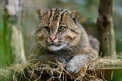 捕鱼猫 免版税库存照片