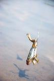 捕鱼 鲶鱼的-在勾子的青蛙诱饵在河 免版税库存照片