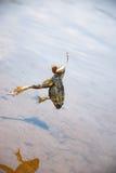 捕鱼 鲶鱼的-在勾子的青蛙诱饵在河 免版税图库摄影