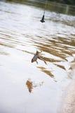捕鱼 鲶鱼的-在勾子的青蛙诱饵在河 免版税库存图片