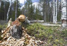 损坏在桦树由欧洲海狸,铸工纤维 库存照片