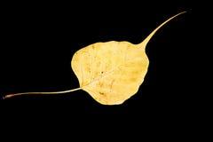 损坏在黑背景的黄色bodhi叶子静脉 图库摄影