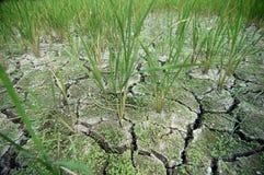 损坏的增长的工厂米土壤 库存图片
