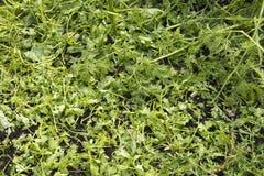 损坏的年幼植物在菜园里 免版税库存图片