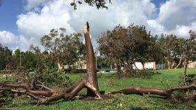 损坏的树在飓风厄马以后的迈阿密佛罗里达 股票视频