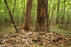 损坏的树甲虫树皮甲虫 与损坏的吠声的树在森林里 免版税图库摄影