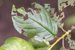 损坏的植物叶子,吞食 寄生生物碰撞的被吃的树叶子 图库摄影