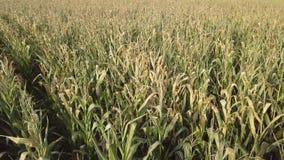 损坏的麦地在秋天 股票视频