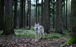 捷克斯拉夫的wolfdog在森林里 库存照片