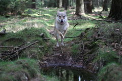 捷克斯拉夫的wolfdog在森林里 免版税库存图片