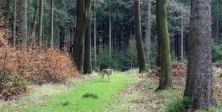 捷克斯拉夫的wolfdog在森林里 图库摄影
