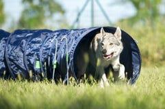 捷克斯拉夫的Wolfdog从敏捷性狗隧道出来 免版税库存图片
