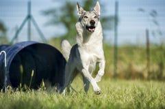 捷克斯拉夫的Wolfdog从敏捷性狗隧道出来 免版税库存照片