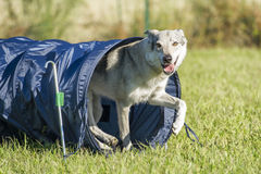 捷克斯拉夫的Wolfdog从敏捷性狗隧道出来 免版税图库摄影