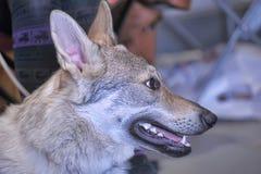捷克斯拉夫的Wolfdog 库存图片