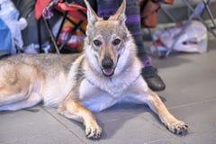 捷克斯拉夫的Wolfdog 免版税库存照片