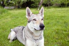 捷克斯拉夫的Wolfdog 免版税图库摄影