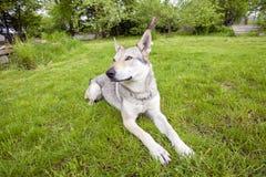 捷克斯拉夫的Wolfdog 免版税库存图片