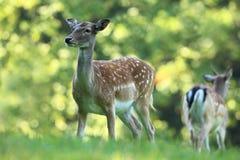 捷克的狂放的本质 美丽的动物照片 库存图片