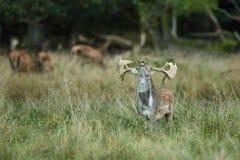 捷克鹿休耕猎物保护区rep 库存图片