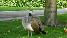 捷克,布拉格, 2017年5月30日 Waldstein公园 母孔雀自由地漫游 库存照片