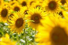 捷克-向日葵的领域 免版税图库摄影