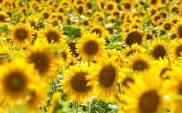 捷克-向日葵的领域 图库摄影