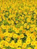 捷克-向日葵的领域 免版税库存图片
