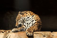 捷豹汽车或豹属onca特写镜头画象  库存图片