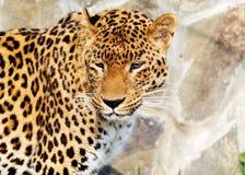 捷豹汽车是非常美丽,强和聪明的动物 库存图片