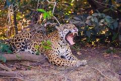 捷豹汽车,与开放嘴的豹属Onca,在河岸,库亚巴河,波尔图Jofre,潘塔纳尔湿地Matogrossense,巴西 库存照片