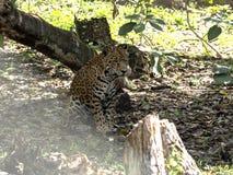 捷豹汽车,豹属onca,是最大美国似猫的,危地马拉 免版税库存照片