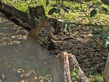捷豹汽车,豹属onca,是最大美国似猫的,危地马拉 库存图片