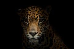 捷豹汽车(豹属onca)在黑暗 库存照片