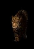 捷豹汽车(豹属onca)在黑暗 库存图片