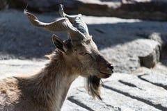 捻角山羊,亦称螺丝垫铁山羊山羊属falconeri 库存图片